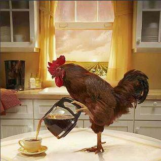 chicken pouring coffee