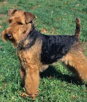 Welsh-Terrier-2